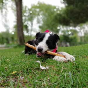 reino by pixie border collie relva cao bricar