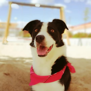 reino by pixie border collie relva cao praia