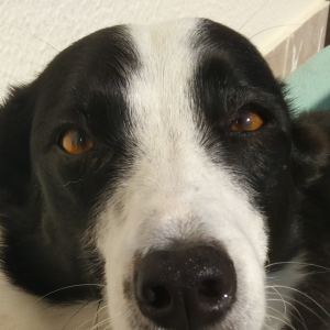 reino by pixie border collie olhos mel visao